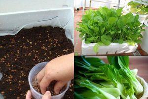 Tha hồ có rau cải xanh ăn quanh năm không hết với cách trồng trong thùng xốp cực đơn giản này