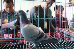 Gian lận hi hữu tại hội thi chim: Bồ câu 'bay' đến đích bằng tàu điện