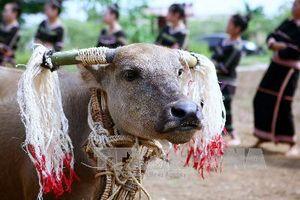 Trả lại số tiền người dân đã đóng góp cho Lễ hội đâm trâu