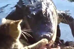 Cá sấu 'bỏ của chạy lấy người' khi bị mèo tấn công