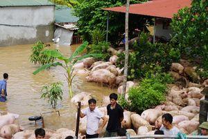 Người dân vật lộn trong nước lũ cứu đàn lợn hơn 1.000 con
