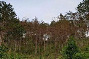 Hàng nghìn cây thông 20 năm tuổi bị đốn hạ cách ủy ban xã chỉ 1km