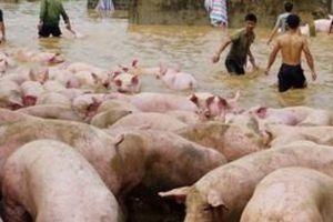 Thanh Hóa: Lũ lên nhanh, chủ trại cuống cuồng 'sơ tán'1.000 con lợn