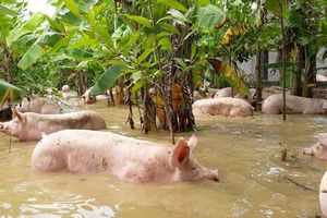 Thanh Hóa: Nước nhấn chìm trang trại, hàng nghìn con lợn bơi trong dòng lũ