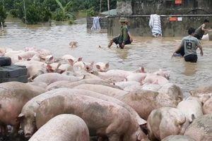 Thanh Hóa: Hàng chục người dân chạy sơ tán hơn 1.000 con lợn trong lũ