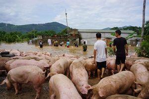 Hàng trăm người 'giải cứu' đàn lợn thoát khỏi nước lũ ở Thanh Hóa