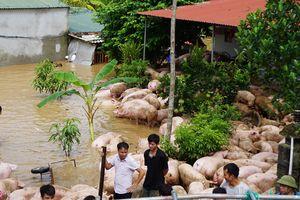 Thức trắng đêm cứu hàng nghìn con lợn bị ngập trong nước lũ