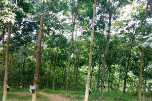 Lai Châu: Cho thuê trên 15,4ha để xây dựng nhà máy chế biến mủ cao su