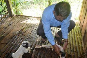 Hiệu quả từ nuôi dê lai bách thảo sinh sản ở Quảng Ngãi