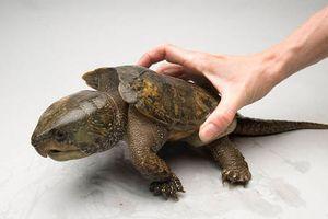 Loài rùa đầu to biết trèo cây, lạ nhất thế giới trong sách đỏ Việt Nam
