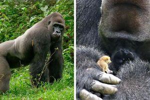 Khỉ đột khổng lồ gặp người bạn tí hon trong rừng và phản ứng đầy xúc động