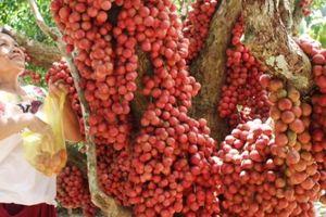 Hàng chục gốc quả mọc từ thân đỏ rực tại Gia Lai 'hút khách'