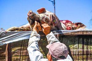 Dịch tả lợn bùng phát nhiều nơi