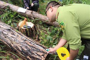 Lại phát hiện rừng thông 30 năm tuổi ở Lâm Đồng bị triệt hạ