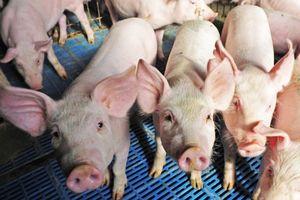 Trung Quốc tăng cường đối phó với dịch cúm lợn châu Phi đang lây lan