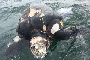 Phát hiện xác 'cụ rùa' quý hiếm 100 tuổi trôi dạt vào bờ biển Anh