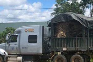 Đắk Lắk: Tạm giữ cây đa 'khủng' trên đường ra Hà Nội