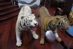 Bị bắt tạm giam vì trưng 2 bộ da hổ quý hiếm nhồi bông trong nhà
