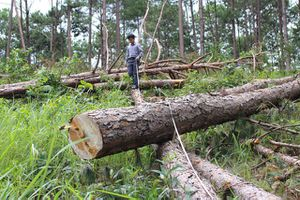 Lâm Đồng: Dân bơm thuốc diệt cỏ 'giết thông' để chiếm đất
