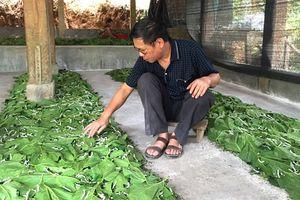 Dâu tằm trên vùng đất mới, 3 lứa bằng thu nhập cả năm trồng lúa, ngô