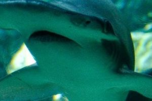 Lần đầu phát hiện cá mập biết ăn cỏ để sinh tồn