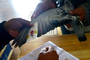 Chim bồ câu không bay vẫn nhất cuộc... thi bay 750km