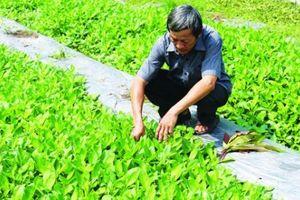 Trồng 15 loài rau rừng, hái quanh năm, bán chạy như tôm tươi