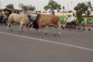2 con bò húc nhau giữa phố, nhiều người bỏ chạy tán loạn