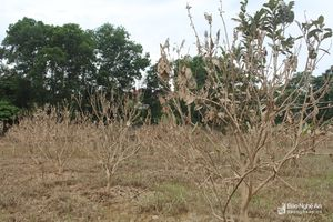 Hàng trăm cây bưởi ở Con Cuông nguy cơ mất trắng do ngập lụt