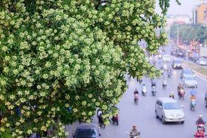 Hà Nội: Hoa sữa nồng nặc bắt đầu tràn ngập các khu phố
