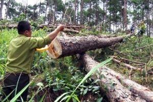 Điều tra, xử lý vụ phá rừng thông tại Lâm Đồng