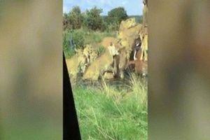 Video sư tử đực đầu đàn bị 9 con cái quây cắn xé tàn bạo