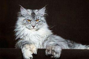 Những giống mèo đẹp và độc đáo nhất thế giới