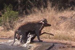 Kết cục bất ngờ sau cuộc săn đuổi của linh cẩu với báo đốm
