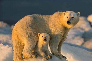 Hành trình của những chú gấu trắng Bắc cực qua ống kính NAG Paul Souders