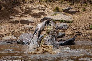 Kinh dị cảnh cá sấu khổng lồ 'chặt đầu' linh dương
