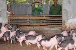 Quảng Ninh: Cấp bách ngăn chặn dịch tả lợn châu Phi từ biên giới