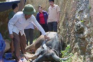 Nghệ An: Rơi nước mắt nhìn 43 con trâu, bò chết do dịch bệnh