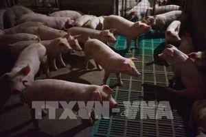 Lào dừng nhập khẩu thịt lợn và lợn từ Trung Quốc