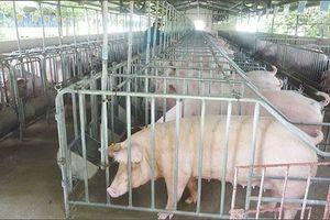 Việt Nam chưa xuất hiện dịch tả lợn châu Phi