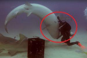 Clip: Thợ lặn thôi miên, thuần hóa cá mập hổ dữ tợn chỉ với một cú chạm