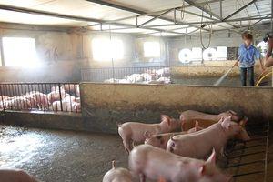 Dịch tả lợn châu Phi áp sát Việt Nam, đe dọa đàn lợn trong nước