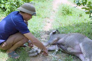Dịch tụ huyết trùng bùng phát tại một số huyện miền Tây Nghệ An, trâu bò lăn ra chết hàng loạt