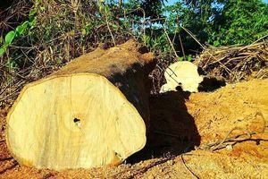 Thêm một vụ phá rừng quy mô lớn tại Nam Giang