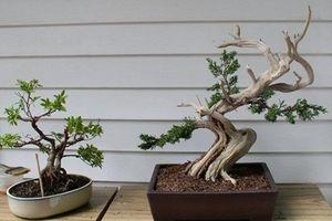 Loạt bonsai gỗ lũa đẹp khó rời mắt