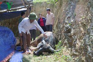 Nghệ An: Thêm 62 con trâu bò chết vì tụ huyết trùng