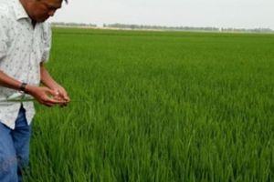 Ghét thương lái, quyết trồng lúa '4.0' trên đất vùng biên