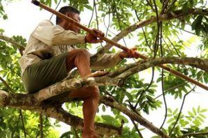 Leo như 'làm xiếc' ở trên cây cao hàng chục mét để thu hoạch trám