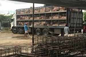 Ngăn chặn dịch tả lợn châu Phi vào Việt Nam: Vẫn còn diễn biến rất phức tạp