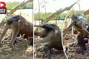 Rồng Komodo khổng lồ nuốt chửng khỉ trong tích tắc